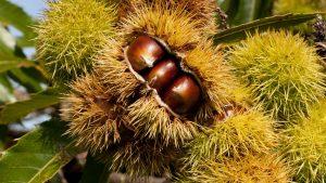 Chestnut Festival: October in Emilia-Romagna